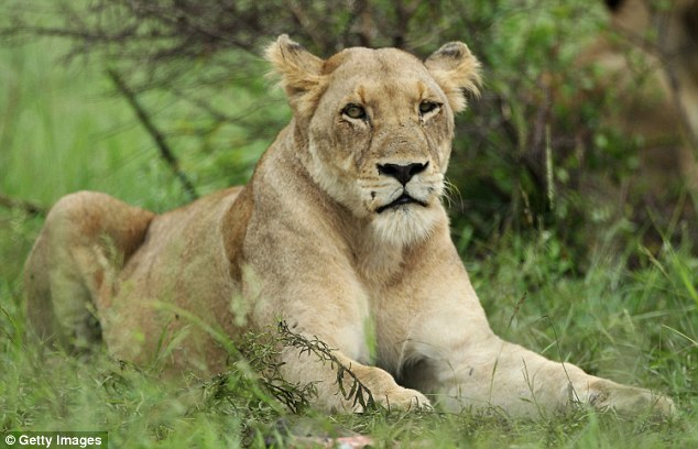 Unlike typical females, who lack a mane and do not roar as frequently as males, the lionesses seen at the Moremi Game Reserve exhibit a number of these masculine characteristics. A normal lioness is pictured