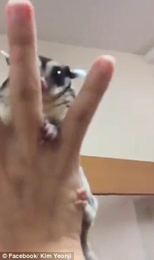 In the wild sugar gliders primarily live in trees in 'colonies' of 10-15 other gliders