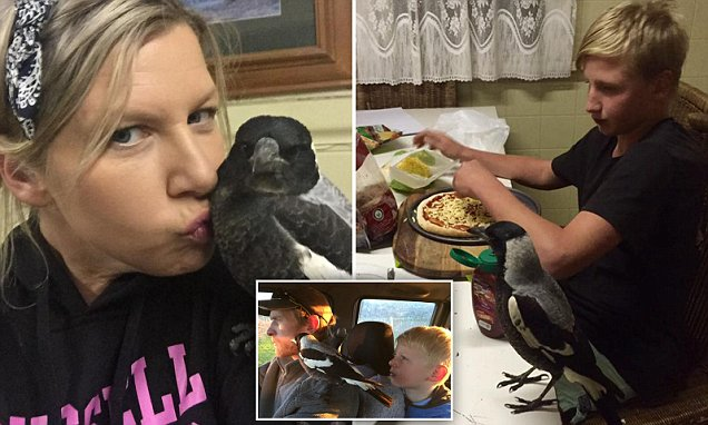 Country Victoria baby magpie Swanny Magoo sets up home with an adopted family