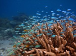 A shoal of blue-green damselfish, seen near a coral reef at Lizard Island on Australia's Great Barrier Reef ©Mark McCormick (James Cook University/AFP)