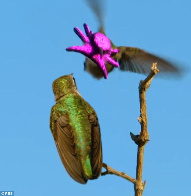 The male's courtship display is a spirited dance, as he twists his body around to show off his shimmery green back in every angle of the sun's light. The male costa's flexes the feathers of his mantle until they become a glowing mask of violet - which oddly looks like a tiny octopus