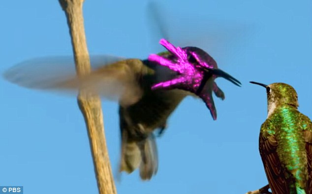 Unfortunately, the guy doesn't get the girl in this story. Less than two minutes after the mating ritual begins, the female flies out of site unamused, 'leaving him to return to his perch'.'Super Hummingbirds' premieres Oct 12, 2016 on PBS