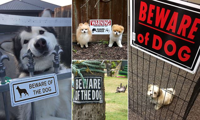 Beware of the Pomeranian? Hilarious photos of VERY friendly guard dogs undermining their