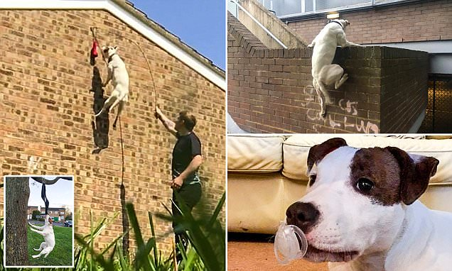 The parkour pooch! Watch Storm the Staffordshire bull terrier run up TWELVE FOOT walls and