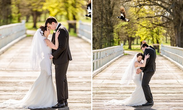 Magpie attacks a newlywed couple as they pose for their wedding photos in Uralla