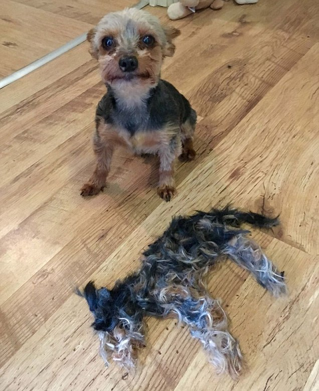 Glasgow dog scared of his own hair after owner gives him a trim
