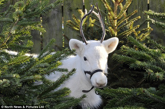 Rare: Snowy the reindeer has been enchanting children at the Victoria Farm Garden Centre in Whitby, North Yorkshire