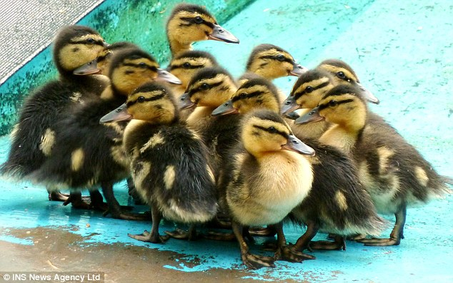 Born too soon: Thirteen ducklings are being cared for by staff at Mallydams Wildlife Centre in Hastings after they were abandoned by their mother