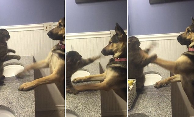 Cat fends off German Shepherd in a hilarious bathroom boxing bout