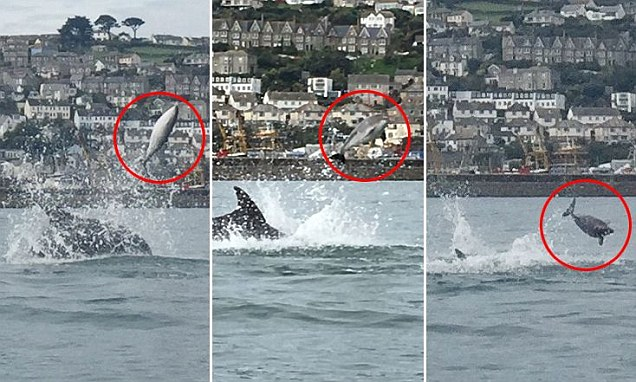Ultra-rare pictures show moment dolphins gang up to MURDER porpoise by throwing it into