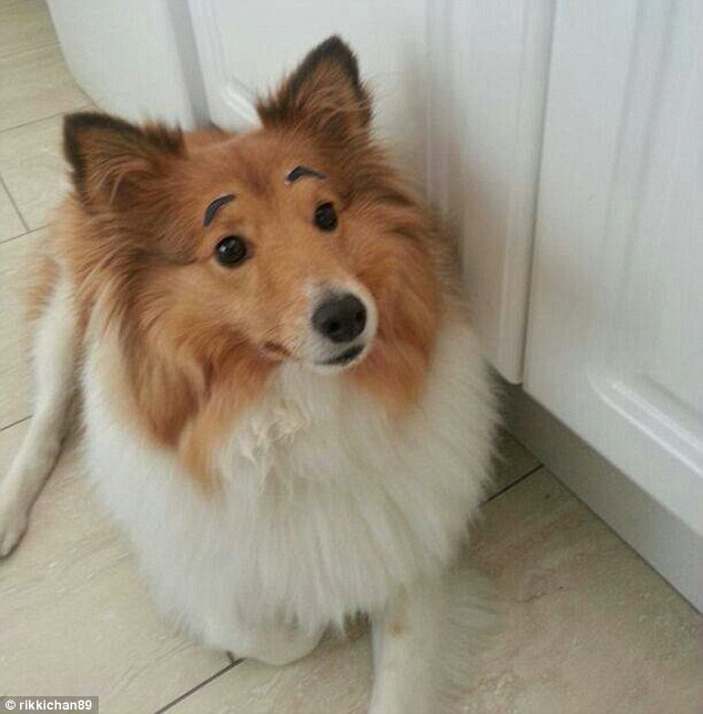 A sheltie has a more pleading look than usual thanks to its owner sticking on a pair of small black eyebrows