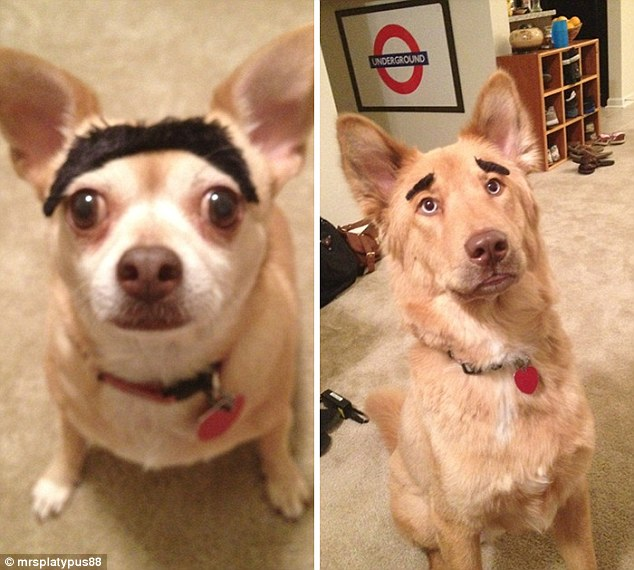 Neither of these pets seem thrilled with their owner's eyebrow game with a Chihuahua getting a monobrow and a big pooch getting arches that make it look like Martin Scorsese