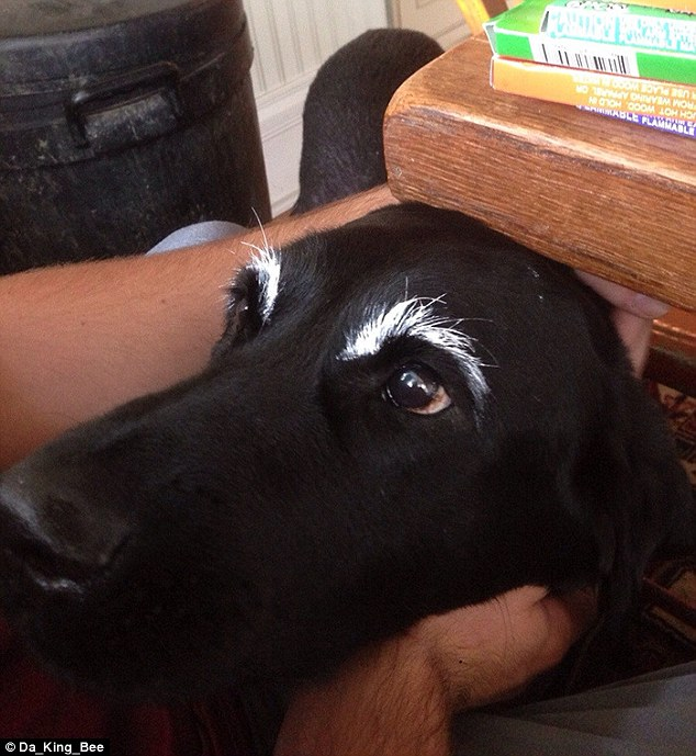 One owner looks as though they have tip-exed their dog's eyebrows to make them really stand out giving the black labrador a look of Denis Healey