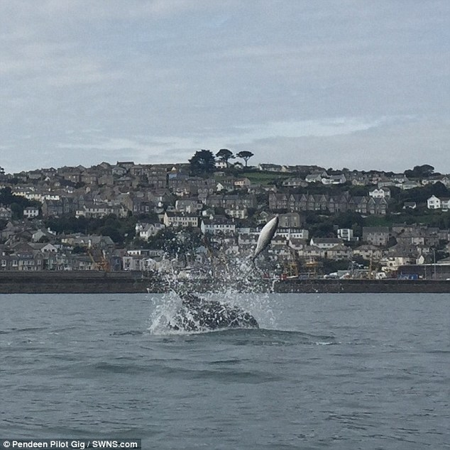 These stunning pictures show a porpoise being killed as it is tossed into the air - by dolphins