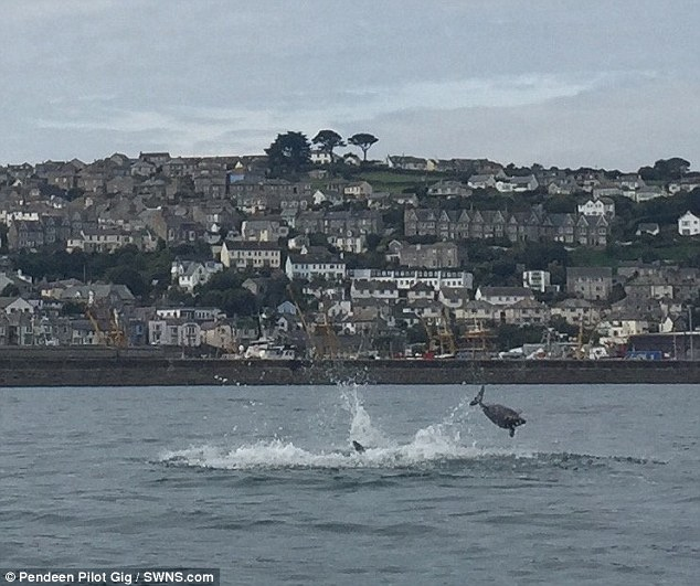 But after posting their pictures on Facebook, experts said it was bottlenose dolphins attacking a harbour porpoise just off Newlyn Harbour in Cornwall