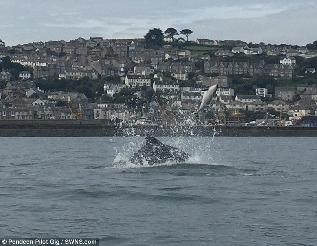 Its carcass was eventually retrieved from the water for a post mortem atNewlyn Harbour