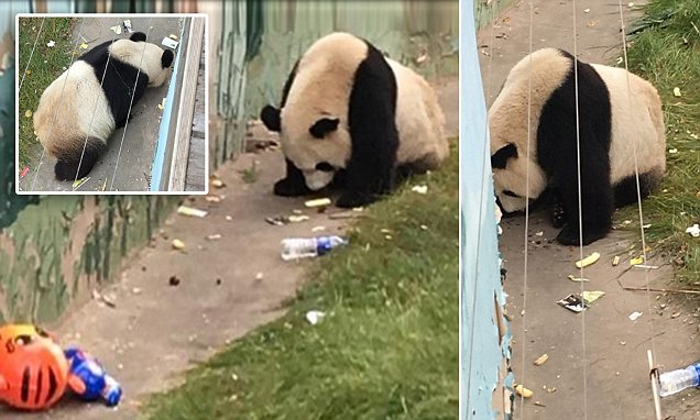 Shocking images show a giant panda at a Chinese zoo foraging through RUBBISH left by