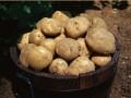 土豆成主粮