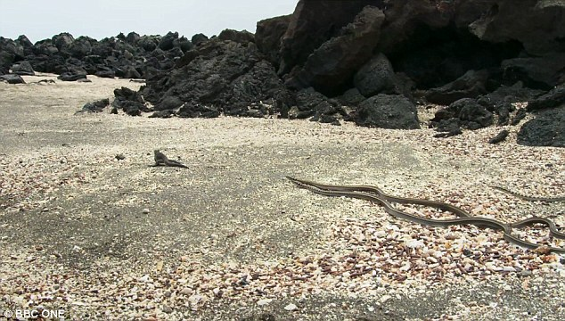 Horrifying: The astonishing television which showed marine iguanas attempting to outrun a knot of racer snakes on Fernandina Island was labelled 'the stuff of nightmares'