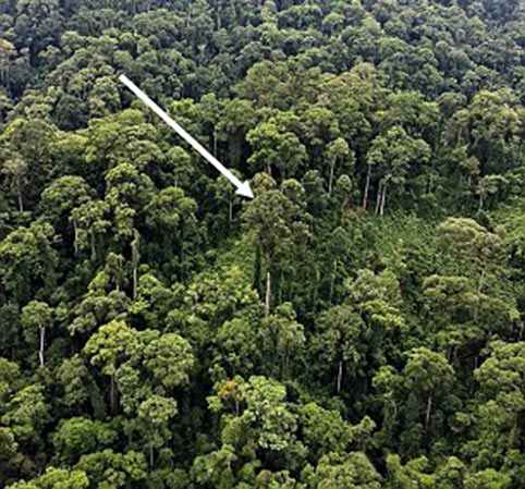 World's tallest tropical tree is found in Borneo - and it's as tall as THREE blue whales stacked end to end