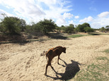 FILE - In this file photo taken Sunday Jan. 29, 2016,  a malnourished  cow walks along a dried up river bed in the village of Chivi, Zimbabwe. Hot and wild and with an ¿increasingly visible human footprint¿ _ that¿s how the U.N. weather agency summed up the global climate in the past five years. In a report released Tuesday Nov. 8, 2016 at international climate talks in Morocco, the World Meteorological Organization said 2011-2015 was the hottest five-year period on record.  ¿(AP Photo/Tsvangirayi Mukwazhi, File)