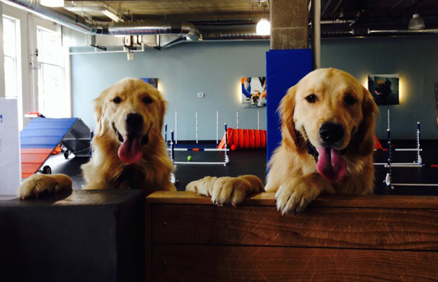 Scientists are studying golden retrievers to find out why their lifespans have gotten so short and why cancer has gotten so prevalent among them. This photo taken April 1, 2015, and provided by Susan Horecki shows Snickers, right, and his sister Logan after passing her Denver Pet Partners therapy dog evaluation