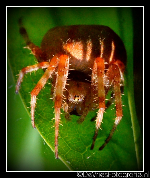 Spinnen - Spiders.-4a