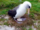 This Dec. 3, 2016, photo provided by the U.S. Fish and Wildlife Service shows the world's oldest known seabird, tending to an egg she laid, with her mate, at Midway Atoll, a wildlife refuge about 1,200 miles northwest of Honolulu. Biologists spotted the Laysan albatross called Wisdom at Midway Atoll National Wildlife Refuge earlier this month after she returned to the island to nest. She was incubating an egg at the same nest she uses each year with her mate. She's believed to be 66 years old. She's also the world's oldest known breeding bird in the wild. (Dan Clark/U.S. Fish and Wildlife Service via AP)