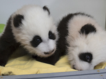 This Dec. 9, 2016 photo provided by Zoo Atlanta, shows giant panda twins Ya Lun, right, and Xi Lun in Atlanta. The names were revealed at a naming celebration Monday, Dec. 12, their 100th day of life, in accordance with Chinese tradition. The zoo says Ya means elegant and Xi means happy. Lun is a reference to the cubs' mother, Lun Lun. (Adam K. Thompson/Zoo Atlanta via AP)