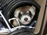 File - In this Monday, Oct. 5, 2015, file photo, a black-footed ferret looks out of a crate used to take it to a site to be let loose during a release of 30 of the animals by the U.S. Fish and Wildlife Service at the Rocky Mountain Arsenal National Wildlife Refuge in Commerce City, Colo. Dozens of slinky, ferocious and rare ferrets are settling in and making babies at a wildlife refuge outside Denver one year after they were released there.  (AP Photo/David Zalubowski, File)