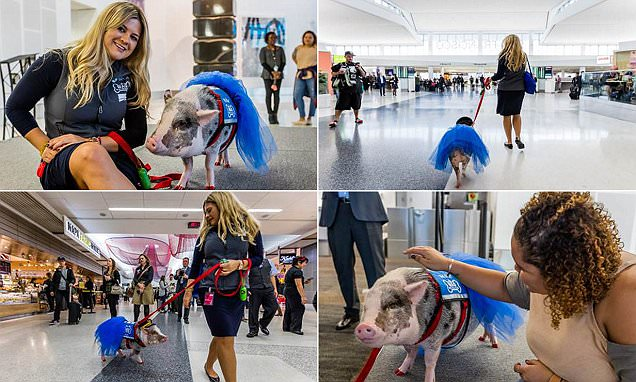 San Francisco International Airport welcomed LiLou the pig to team of therapy pets