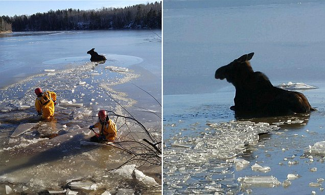 Canada's Shediac firefighters rescue moose trapped in frozen lake