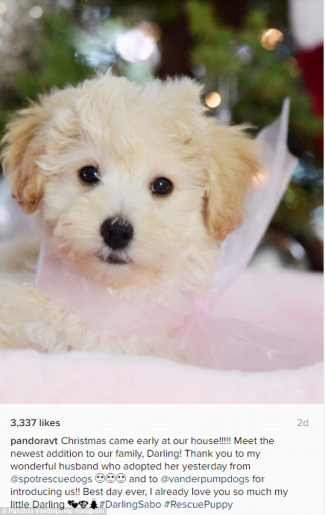 Too cute: The poodle mix was given to Pandora as an early Christmas present from her husband Jason Sabo