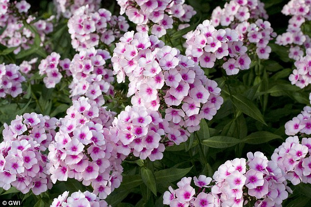 A fondness for phlox: American beauties bring colour and sweet scent to