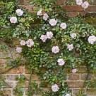 Rosa Leontine Gervais, an old rambling rose, climbing a brick wall