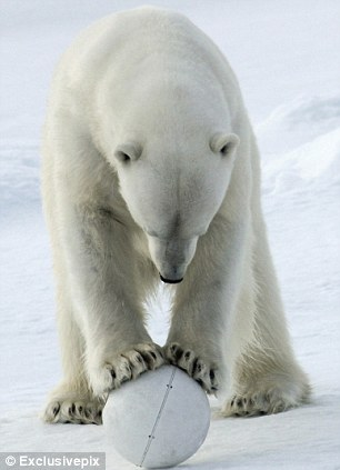Round two: The bear finds the snowball camera