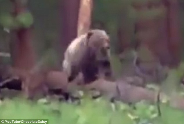 A hunter stopped a  bear dead in its tracks as it stormed towards him during a terrifying video
