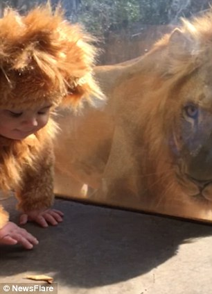 Pictured, Baby Aryeh comes face-to-face with a lion at Zoo Atlanta