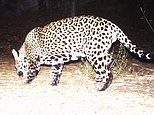 This Dec. 1, 2016 video image provided by Fort Huachuca shows a photo of a wild jaguar in southern Arizona. Authorities say a camera belonging to Fort Huachuca Army installation has captured what is likely the second wild jaguar to be spotted in the U.S. in recent years. The Arizona Game and Fish Department says a preliminary analysis suggests the cat is new to the area and not ¿El Jefe,¿ a jaguar that was captured on video in a nearby mountain range last year.  (Fort Huachuca via AP)