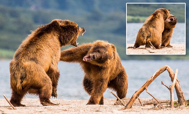 Brown bears have massive fight over a fish in Russia
