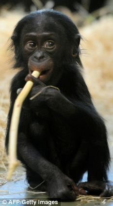 One-year-old bonobo baby 'Likemba' plays with a piece of wood in her enclosure in Berlin Zoo