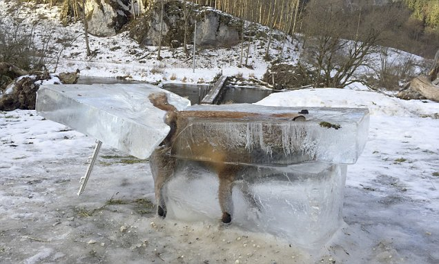 Fox frozen in ICE in Germany as freezing weather claim lives across Europe