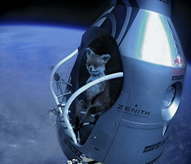 The fox even emulates Felix Baumgartner by getting to leap to Earth from the stratosphere