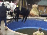 In this Sunday, Jan. 15, 2017, provided by the Oklahoma City Fire Department, firefighters hoist a cow out of a swimming pool outside a home in Oklahoma City. A homeowner reported hearing some sort of ¿snorting¿ coming from his swimming pool area and emergency responders arrived and discovered a hole in the swimming pool¿s liner and a cow trapped in the water. (Mike Seeley/Oklahoma City Fire Department via AP)