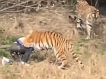 The man tries to sit up as the tiger sinks its teeth into his upper body