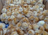 Around 1,000 day-old newly-hatched chicks have been found cruelly abandoned in a field