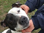 Holly, a six-year-old Staffordshire bull terrier hermaphrodite at the RSPCA's Coventry and Nuneaton district branch (Richard Vernalls/PA)