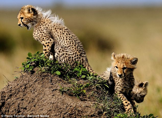 The mum didn't have much time to prepare for her six-fold blessing. Cheetah pregnancies only last about three months