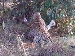 A dramatic video has emerged of two leopards entering a battle to the death with a huge rock python in South Africa