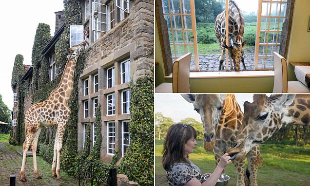 Images show giraffe being fed from a top floor window